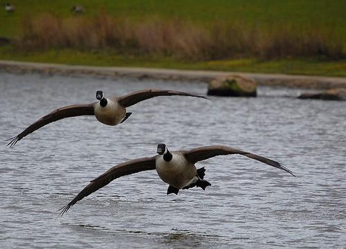 Geese Landing